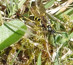 indet (7) (BSCG (Badenoch and Strathspey Conservation Group)) Tags: acm insect hymenoptera heathland sunshine april