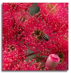 Flowering Gum (Bear Dale) Tags: red flowering gum ulladulla new south wales australia nikon d850 nikkor afs 70200mm f28e fl ed vr bear dale bee macro bees ngc