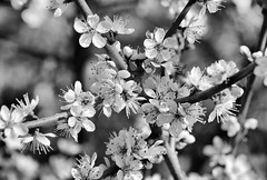 blackthorn in black and white (Francis Mansell) Tags: blackthorn sloe flower blossom tree bush plant monochrome blackwhite petal macro niksilverefexpro2 stamen branch anther prunusspinosa spring