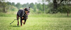 Chaser (zola.kovacsh) Tags: outdoor animal pet dog ipo schutzhund dobermann doberman pinscher