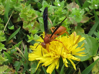 Red Wasp on Dandiloin