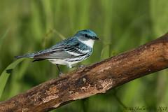 Cerulean Warbler (Matt Shellenberg) Tags: bird birds cerulean warbler ceruleanwarbler missouri nature wildlife matt shellenberg busiek state forest