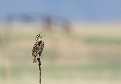 Western meadowlark (material guy) Tags: colorado rockymountainarsenalnwr westernmeadowlark