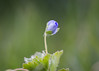 anticipation (Emma Varley) Tags: wildflower flower spring westsussex speedwell march bud opening anticipation purple blue green tiny