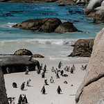 African Penguins thumbnail