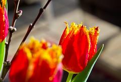Rot und Gelb / Red 'n Yellow (schreibtnix on 'n off) Tags: deutschland germany bergischgladbach frühling springtime pflanzen plants blüte blossom tulpen tulips nahaufnahme closeup rotundgelb rednyellow olympuse5 schreibtnix