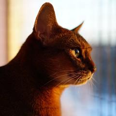 Daybreak (DizzieMizzieLizzie) Tags: abyssinian aby lizzie dizziemizzielizzie portrait cat feline gato gatto katt katze kot meow pisica sony neko gatos chat a6500 zeiss fe 55mm f18 za ilce6500 ilce sel55f18z sonnar 2018 daybreak sun light