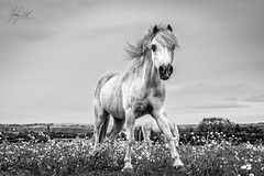 B+W Horse 5 (AnthonyCNeill) Tags: horse pferd caballo cheval animal equine equestrian blackandwhite blancaynegra blancetnoir schwartzweiss outdoor countryside