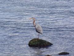 Heron (jmaxtours) Tags: stanleypark stanleyparkvancouver vancouver vancouverbc vancouverbritishcolumbia bc britishcolumbia heron