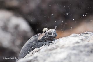 Marine Iguana expelling salt!! D85_0849.jpg