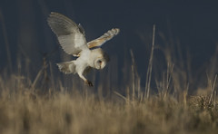 Barn Owl - Mouse View (Ann and Chris) Tags: avian bird barnowl barn beak close coast ocean sea flying gorgeous gliding hunting hunt looking outdoors bempton bemptoncliffs predator raptor stunning unusual vivid wild wings wildlife