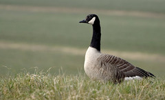 Canada Goose (moniquedoon) Tags: goose gans birds featheredfriends feathers wildlife nature natuur