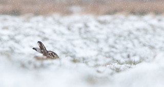 Brown Hare - Happy Easter -