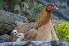 Mother Hen With Chicks (Barbara Evans 7) Tags: mother hen with chicks barbara evans7