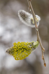 willow flowers 3 (wundoroo) Tags: newyorkbotanicalgarden nybg newyork bronx spring april catkin flowers wetlandtrail willow stamens