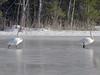 Joutsenpari (Jorma_M) Tags: swan joutsen jää ice