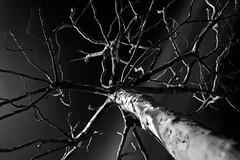 """Platanus in Spring"" (helmet13) Tags: d800e raw bw tree platanus springtime branches trunk aoi world100f peaceaward"