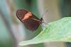 Crimson-patched Longwing - Heliconius erato hydara (Roger Wasley) Tags: crimsonpatchedlongwing heliconiuserato hydara butterfly butterflies insect neotropics neotropical panama centralamerica
