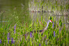 Sandhill and Pickerelweed (tclaud2002) Tags: crane sandhillcrane bird wadingbird nature miothernature pickerealweed pickerelweed phippspark stuart florida usa