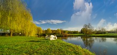 The Swan - 4906 (YᗩSᗰIᘉᗴ HᗴᘉS +15 000 000 thx) Tags: swan bird nature trees sky bluesky hensyasmine namur belgium europa aaa namuroise look photo friends be wow yasminehens interest intersting eu fr greatphotographers lanamuroise