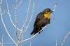 Yellow-headed Blackbird, Female (halladaybill) Tags: diazlake yellowheadedblackbird lonepine california unitedstates us easternsierras seaandsageaudubonsociety auduboncalifornia cornelllabofornithology inyocounty nikkor200500zoom nikond850