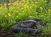 Rat Snake and Yellow Wood Sorrel (cre8foru2009) Tags: select