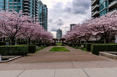 Cherry Blossom 2018 (Syd Rahman) Tags: 604now igscan mustbevancouver vancouvercanada cityofvancouver dailyhivevan discovervancouver explorecanada georgiastraight igcanada igersvancouver igvancouver ilovebc narcityvancouver photos604 staypnw thankyoucanada tourcanada vancity vancitybuzz vancityfeature vancityhype vancitylove vancouver vancouverbound vancouvering vancouverisawesome vancouverlife vancouverofficial veryvancouver bc brithishcolumbia burnaby canada cheeryblossom cheeryblossom2018 d7000 dslr flowers followme iso metrovancouver nikon nikond7000 rahman syd sydrahman sydur sydurrahman today