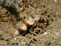 Amblyeleotris guttata (PacificKlaus) Tags: philippines negrosoriental dauin negrosisland scuba diving underwater ocean underwaterphotography salayabeachhouses amblyeleotrisguttata goby shrimpgoby fish