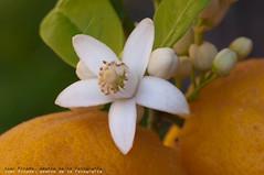 Propera collita. Next harvest (J.Pineda66) Tags: orange flower fruta fruit