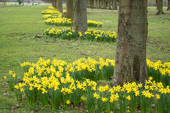 20180322-24_Coombe Abbey Country Park - Daffodils + Avenue of Trees (gary.hadden) Tags: coombeabbey coombepark coventry warwickshire countrypark rambling countrywalking daffs daffodils spring trees flowers avenue