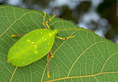 Orthoptera (mikhailomelko) Tags: