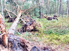 stormy weathers (Wijdbeens) Tags: plankenwambuis wind storm bomen oudreemst ede veluwe
