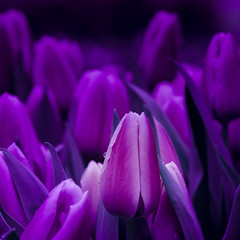 50 shades of purple! (m_laRs_k) Tags: hss slidersunday amsterdam holland tulips olympus omd flower europe lightroomed 7dwf