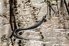 Geltonskruostis žaltys / Natrix natrix / Grass Snake (Jonas Juodišius) Tags: lietuva lithuania vilnius verkiai verkiuparkas geltonskruostisžaltys natrixnatrix grasssnake