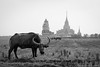 Thai Buffalo (terkhomson) Tags: agriculture ganesh thailand touristattraction touristspot blackandwhite buffalo faith god landscape local outdoor religion temple travel
