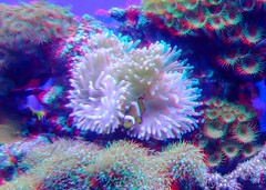 anemone--clownfish_20144323465_o (irrational.photography) Tags: rational irrational photography photo irrationalphotography rationalphotography irrationalphoto montreal quebec canada anaglyph stereo stereograph picture red cyan blue magenta 3d anaglyphs fuji fujifilm w3 finepix