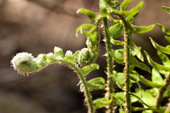 bigsouthfork_3832 (jcbonbon) Tags: april big south fork tennessee park fern spring