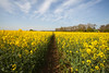 Kent Countryside (spring) (Adam Swaine) Tags: kentweald kentishlandscapes kent rapeseed yellow fields ruralkent rural nature england englishlandscapes english britain spring springinkent seasons walks flora uk ukcounties counties countryside canon greatbritain