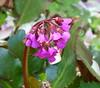 2018 Germany // Unser Garten - Our garden // im April // Bergenie (maerzbecher-Deutschland zu Fuss) Tags: garten natur deutschland germany maerzbecher garden unsergarten 2018 april bergenie