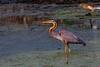 Purple Heron - Subbaraya Lake, Gottigere, Bangalore (Aiel) Tags: pelecaniformes ardeidae ardea apurpurea ardeapurpurea purpleheron heron wader bangalore bengaluru gottigere subbarayalake canon60d canon100400lis