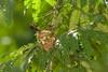 Ternura-5926.jpg (coyotecorrea) Tags: ave hummingbird colibrí pico nido líquen fibra ternura verde green