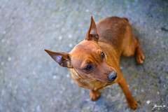 Santa - Miniature Pinscher Puppy (Jakesb_001.NEF) Tags: miniature pinscher miniaturepinscher dog browndog brownhair brown brownpuppy beautifull puppy smallpuppy doggie dogo nature animal animals housepet domestic cute serbia loyaldog loyal adorable doggy black blackpuppy srbija bosnia bosna lovely lovedogs love