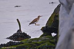 Piro piro piccolo_000 (Rolando CRINITI) Tags: piropiropiccolo uccelli uccello birds ornitologia canaledicalma genova natura