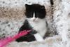 NL* Titran's Peer Gynt male kitten black & white 10 weeks old (Titran's Norsk Skogkatt) Tags: nfo titran titrans chat cat kitten chaton norge norway wegie waldkatze norweger noor norvégien boskat