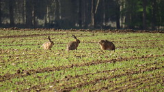 Hares in a Norfolk field (hedgehoggarden1) Tags: hare mammal animal creature wildlife canonpowershotsx50hs norfolk eastanglia uk field nature three hares mammals animals canon explore explored