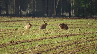 Hares in a Norfolk field