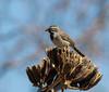 Black-throated Sparrow (Amphispiza bilineata) (Susan Jarnagin) Tags: bird blackthroatedsparrow amphispizabilineata sparrow chiricahuas portal cochisecounty az arizona