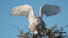 Snowy Owl (Our Local Wildlife) Tags: snowyowl