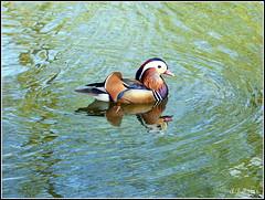 Mandarin Duck. Holywells Park. Ipswich (Alan B Thompson) Tags: 2018 may suffolk eastanglia bird wildlife lumix fz72 picassa