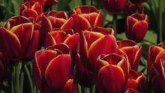 Pretty Tulips (shesnuckinfuts) Tags: tulips tuliptown mtvernonwa shesnuckinfuts april2018 flowers farm skagitvalley red